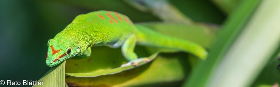 Gecko Züri Zoo